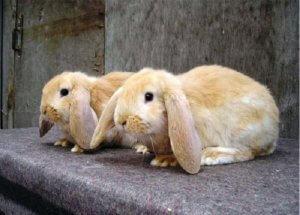 Молодые кролики французский баран