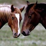 Мустанг лошадь: история и образ жизни