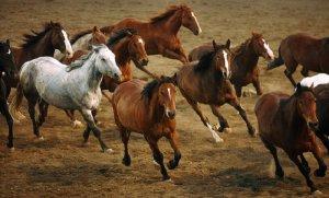 Табун лошадей породы мустанг в природе