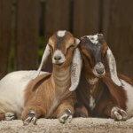 Англо нубийские козы: преимущества и недостатки разведения