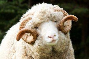 Овца советский меринос белого цвета