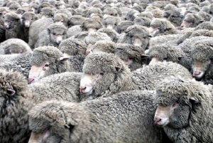 Стадо овец породы меринос