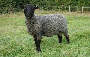 Романовская порода овец разведение и характеристика