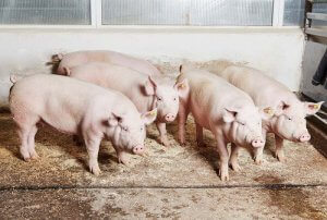 Ферма разведения свиней крупной белой породы