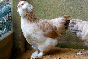 Курица породы фавероль