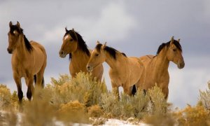 Лошади мустанг в естественной среде