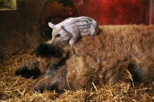 Свинья с поросям породы мангал