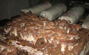 Выращивание гриба шиитаке в домашних условиях
