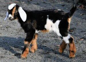 Разведение коз англо-нубийской породы