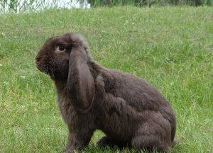 Разведении кроликов баранов в домашних условиях