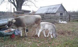 Разведения коров костромской породы