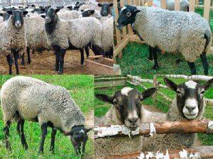 Основные признаки характеризующие романовских овец