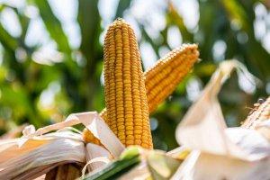 Семенам кукурузы в Крснодарском крае будет производить немецкий холдинг KWS