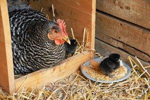 Курица и цыпленок породы амрокс