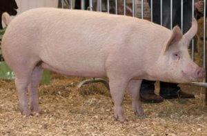 Свинья породы крупная белая