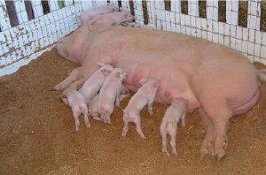 Свиноматка и поросята крупной белой породы