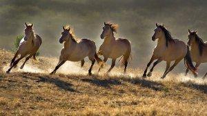 Табун лошадей мустангов