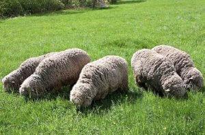 Овцы меринос едят траву на лугу