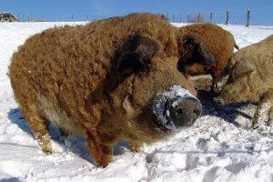 Травоядные свиньи мангал