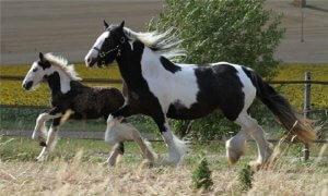 Разведение цыганской лошади