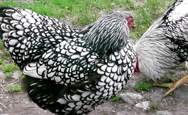 Порода куриц виандот: содержание и перспективы разведения