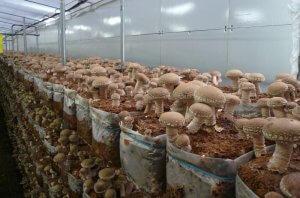 Промышленный метод выращивания шиитаке