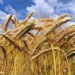 В Томской области появилась угроза поражения зерновых трипсом, гельминтоспориозом и мучнистой росой