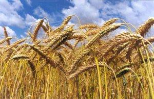В Томской обласи посевам пшеницы угрожает трипс и другие болезни