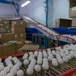 Приангарское сельскохозяйственное предприятие «Белореченское» российский лидер по яйценоскости кур