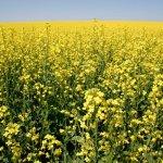 В Пензенской области увеличивают посевные площади масличной культуры – рыжика