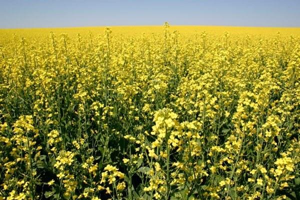 В Пензенской области увеличивают посевы озимого рыжика