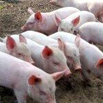 В Омской области зафиксирован очаг африканской чумы свиней
