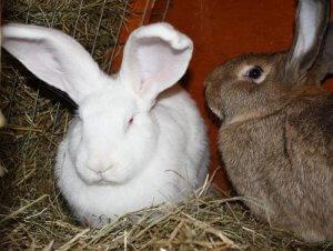 Два кролики породы бельгийский великан