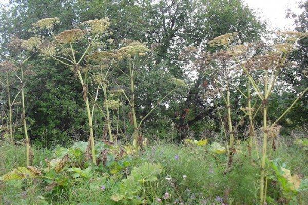 Опасный сорняк – борщевик Сосновского