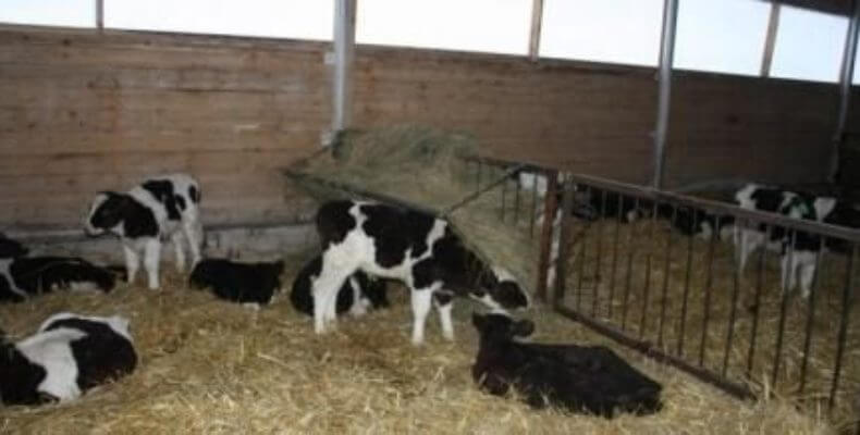 В Омской области вместо угничтодженных свиней предлагаюют вфыращивать бычков и индюков
