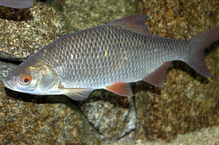пелядь фото рыба