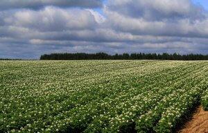 Использование инсектицидов для выращивания картофеля