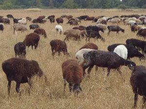 Стадо эдильбаевской породы овец на пастбище