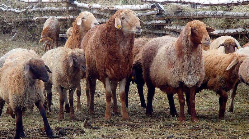 Эдильбаевская порода овец: продуктивность и перспективы содержания