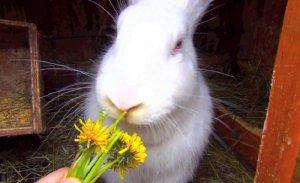 Кролик белый великан кушает одуванчики