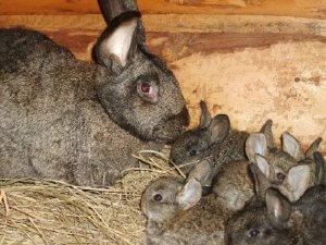 Крольчиха с крольчатами породы серый великан