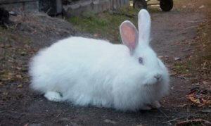 Кролик белый пуховый