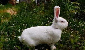 Кролик бельгийский великан белый