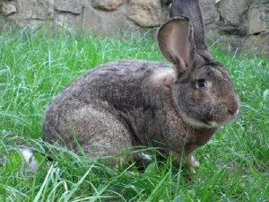 Кролик гигант фландр