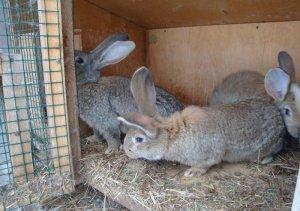 Кролики породы серый великан в домашних условиях