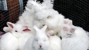 Разведение кроликов породы белый пуховой