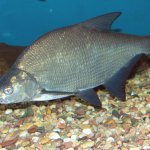Рыба лещ: использование и искусственное разведение