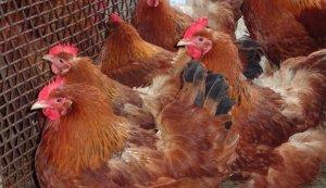 Разведение мясо-яичной породы кур нью-гемпшир