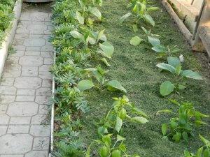 Мульчирование скошенной травой