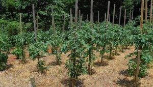 Кусты томатов под мульчей